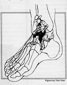 Diagram of Tendons in Foot - Copyright – Stock Photo / Register Mark