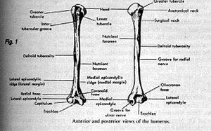 Anterior and posterior views of the humerus. - Copyright – Stock Photo / Register Mark