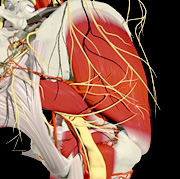 The sciatic nerve, as it exits below the piriformis. - Copyright – Stock Photo / Register Mark