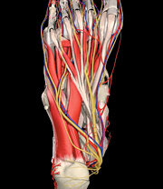 Bottom of foot, showing both medial and lateral plantar nerve. - Copyright – Stock Photo / Register Mark