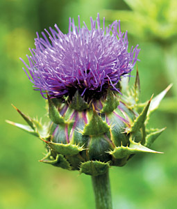 Milk Thistle - Copyright – Stock Photo / Register Mark