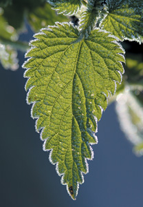 nettle plant - Copyright – Stock Photo / Register Mark