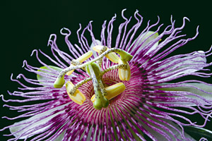 Passion Flower - Copyright – Stock Photo / Register Mark