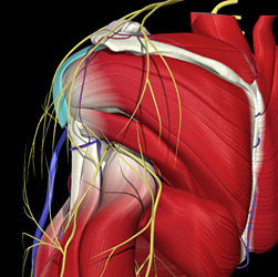 suprascapular and axillary nerves - Copyright – Stock Photo / Register Mark