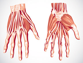 muscles and tendons - Copyright – Stock Photo / Register Mark